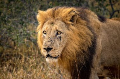 kruger-wildlife-photography-injured-lion-e1537348809486