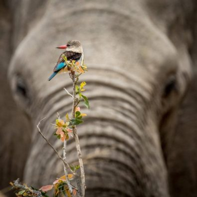 kruger-wildlife-photography-kingfisher-sitting-on-elephant-e1537348882740