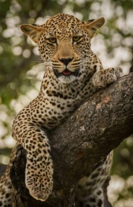 kruger-wildlife-photography-leopard-in-tree-e1537348902503