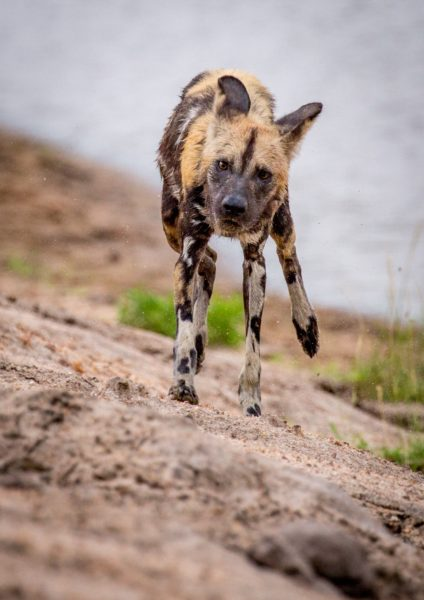 kruger-wildlife-photography-lone-wild-dog-e1537348957402
